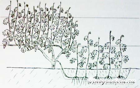 Выращивание саженцев винограда из отводок