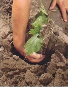 Весенняя посадка вегетирующего саженца
