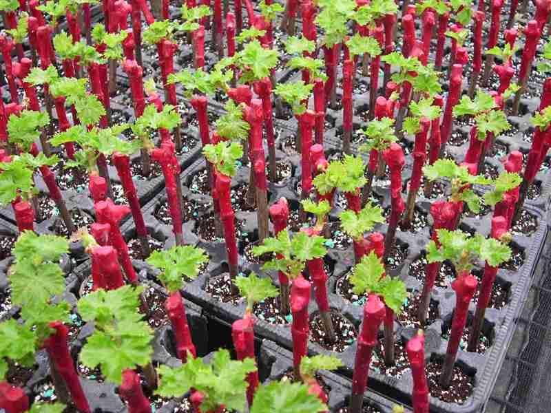 Выращивание саженцев винограда из черенков в домашних условиях в