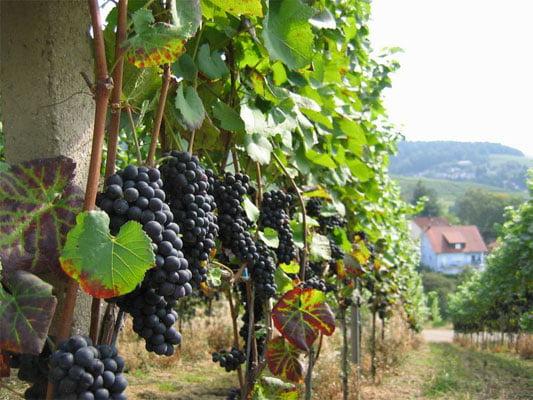 В Ставрапольском крае увеличат площади под виноградом