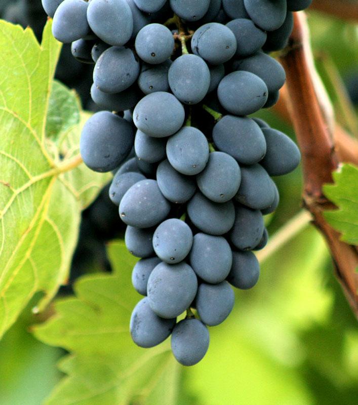 Виноград кардинал  описание