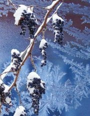 Устойчивость винограда к болезням и морозу