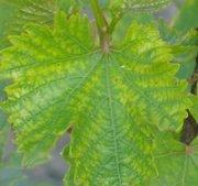 Защита винограда от хлороза