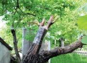 Прививка винограда в расщеп корнештамба