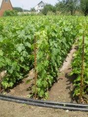 Правильная посадка винограда (густота посадки)