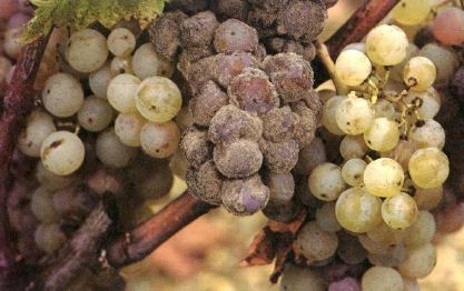 Красное вино. Производство (часть 1)