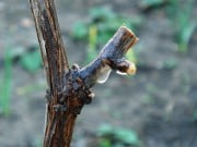 Обрезка винограда и её плюсы