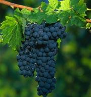 Как выбрать саженцы винограда?