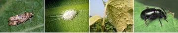 Определение вредителей винограда по характеру повреждения куста