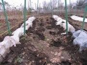 Как укрыть виноград на зиму?