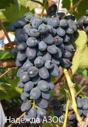 Северный виноград. Технология выращивания
