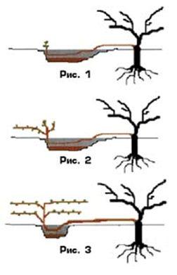 Выращивание саженцев. Чубуки или отводки?