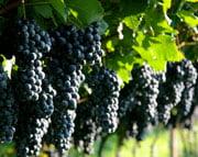 Виноград 21 века. Особенности сезона 2013